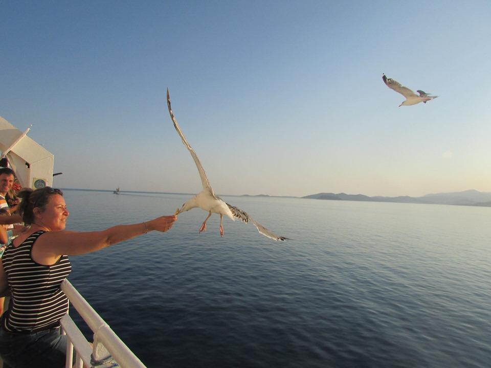 чайки похапват покрай ферибота