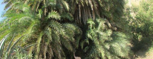 палмовата гора на Превели Крит