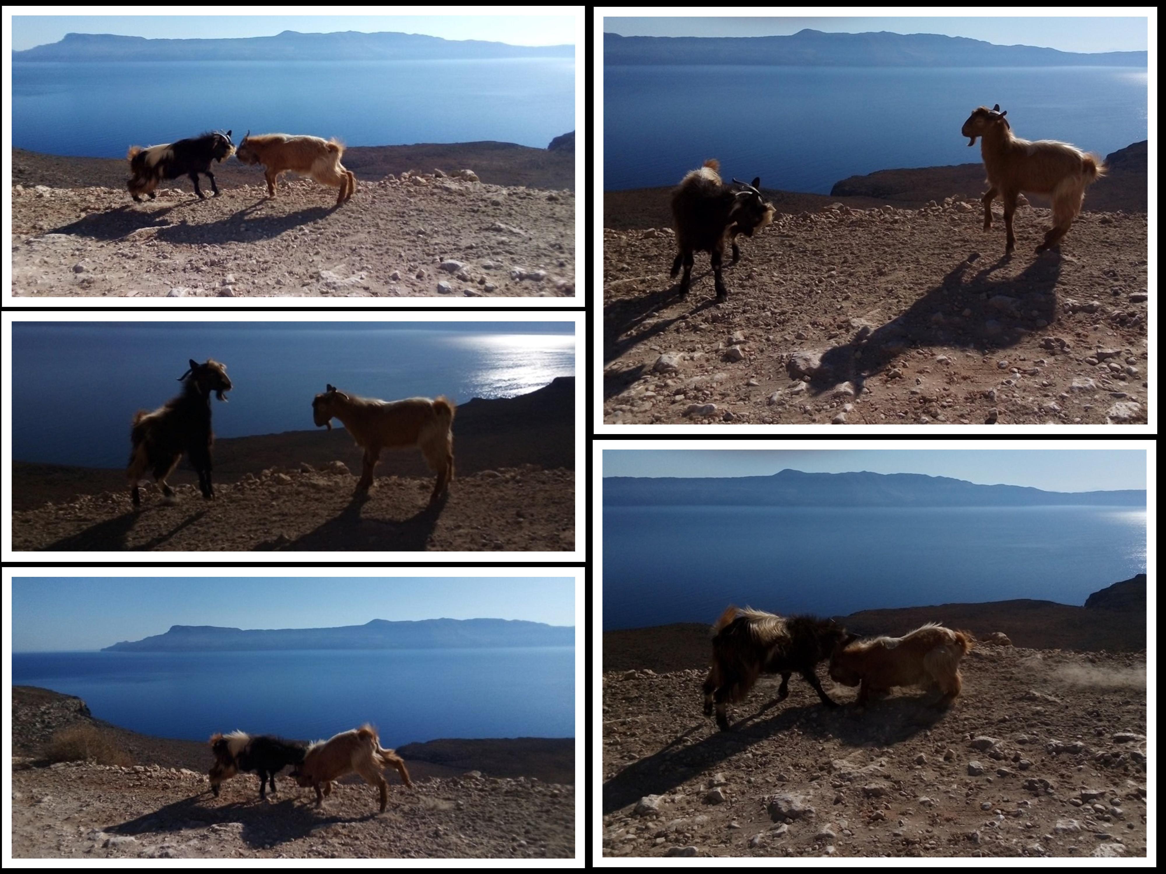 кюскане на диви кози в Гърция