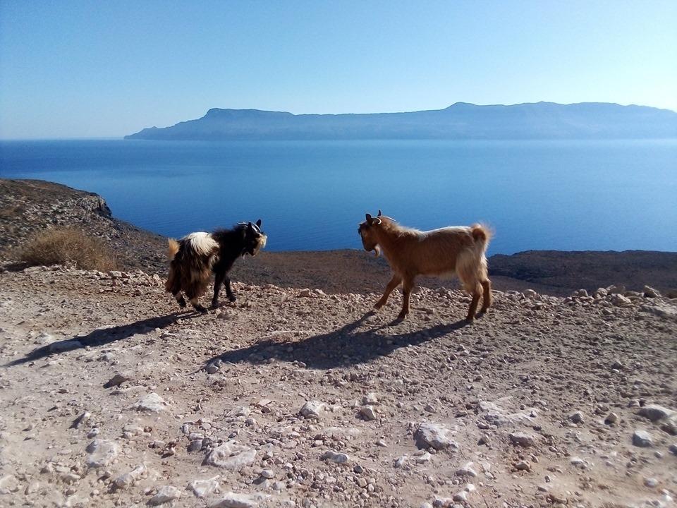 козлета се кюскат на о. Крит