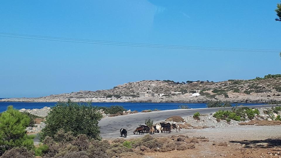 диви кози на път на о. Крит