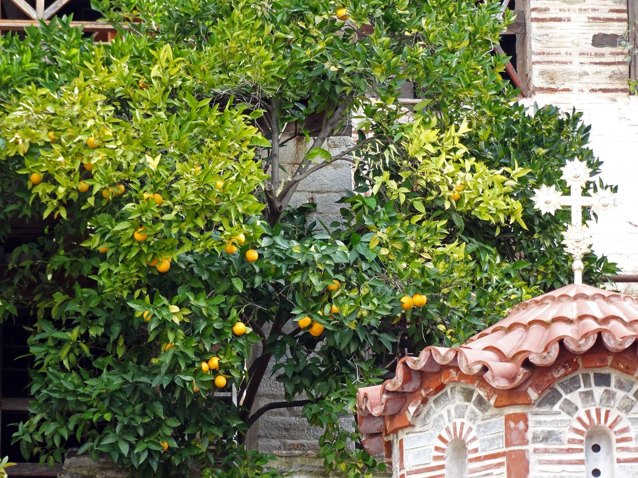 Лимонено дръвче на Атон