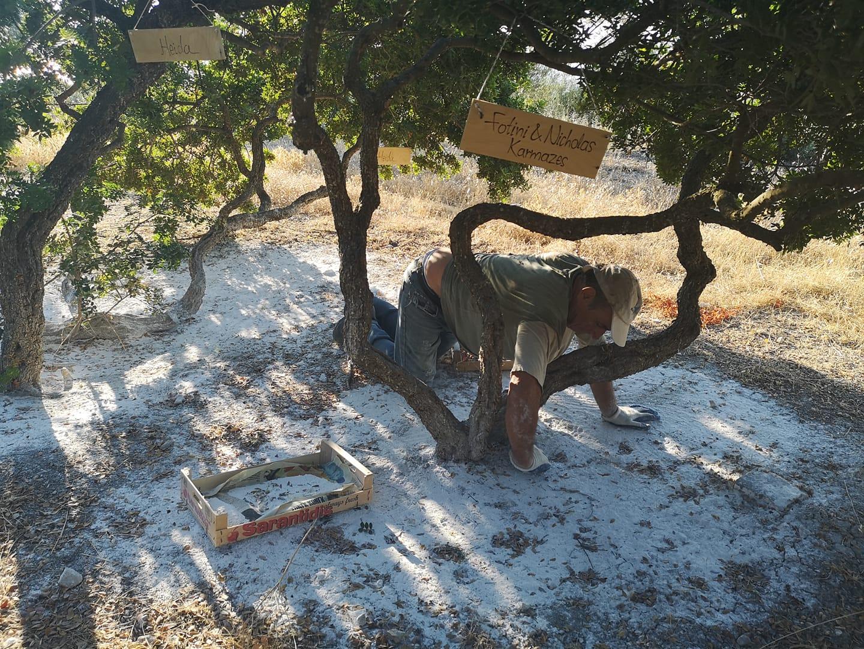 Обработване на почвата под мастковите дръвчета