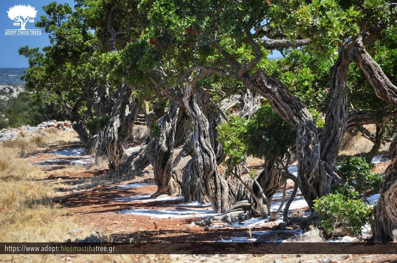 Мастихова гора на Хиос